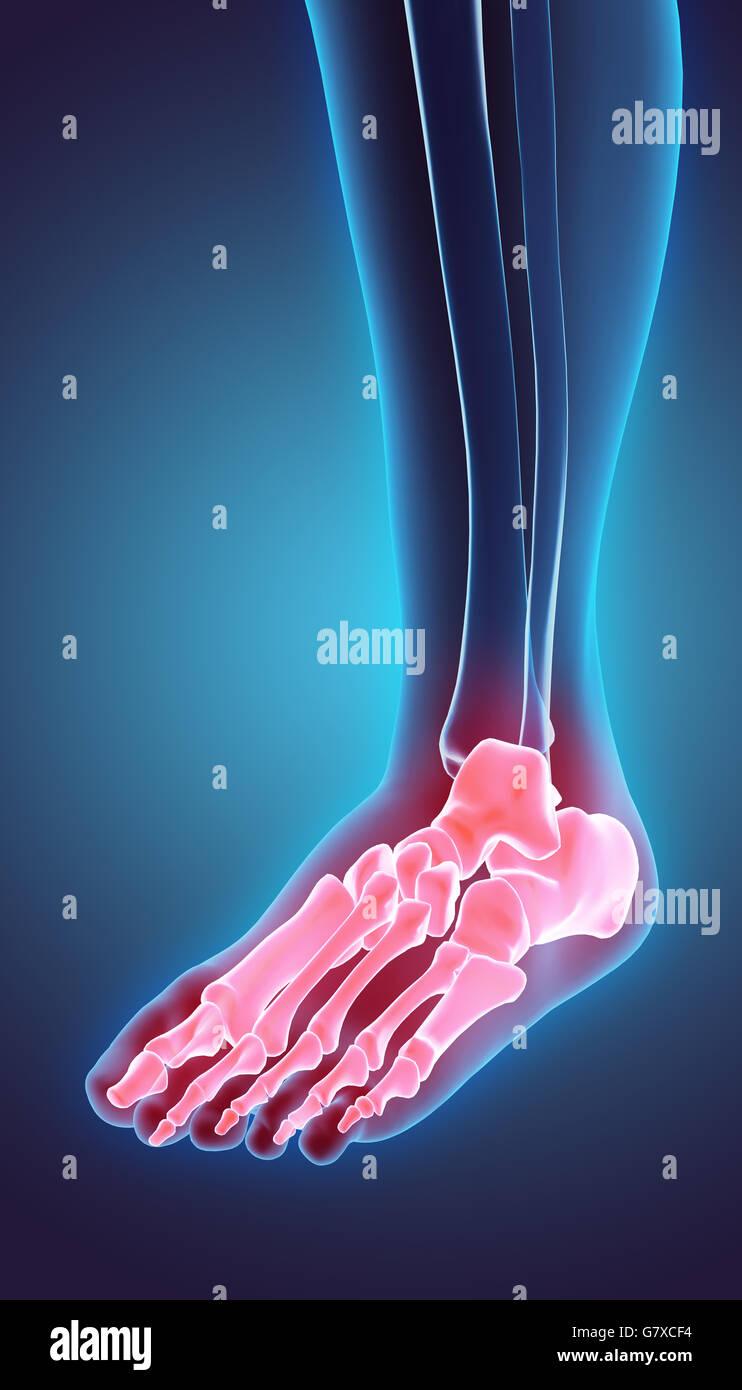 3D Abbildung des Fuß-Skelett - Teil des menschlichen Skeletts ...