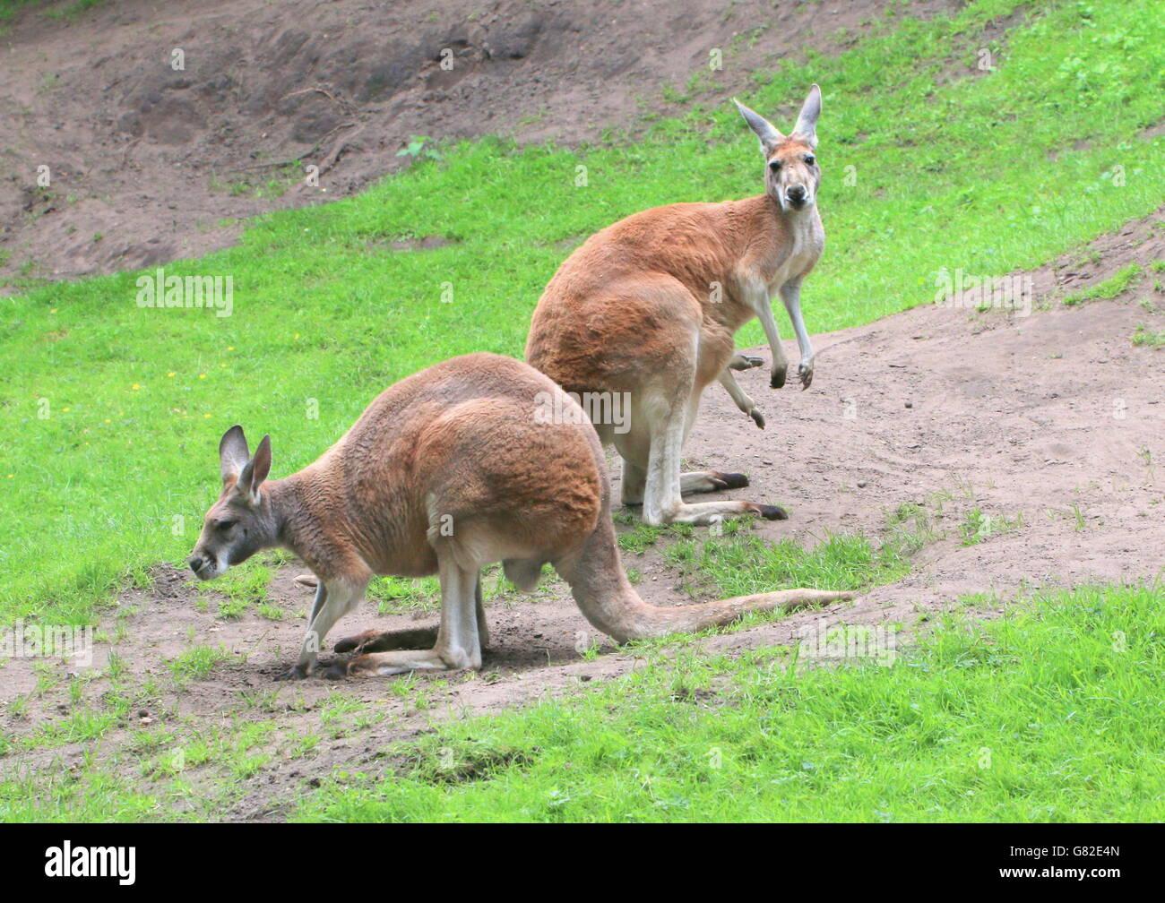 känguru männchen beutel