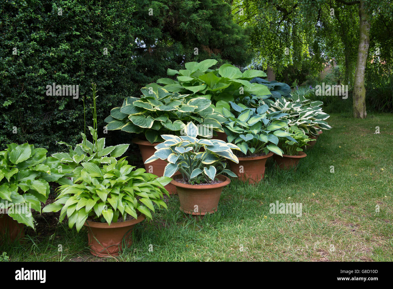 hosta pflanzen in blument pfen in cotswolds cottage garten ashton unter hill wychavon bezirk. Black Bedroom Furniture Sets. Home Design Ideas