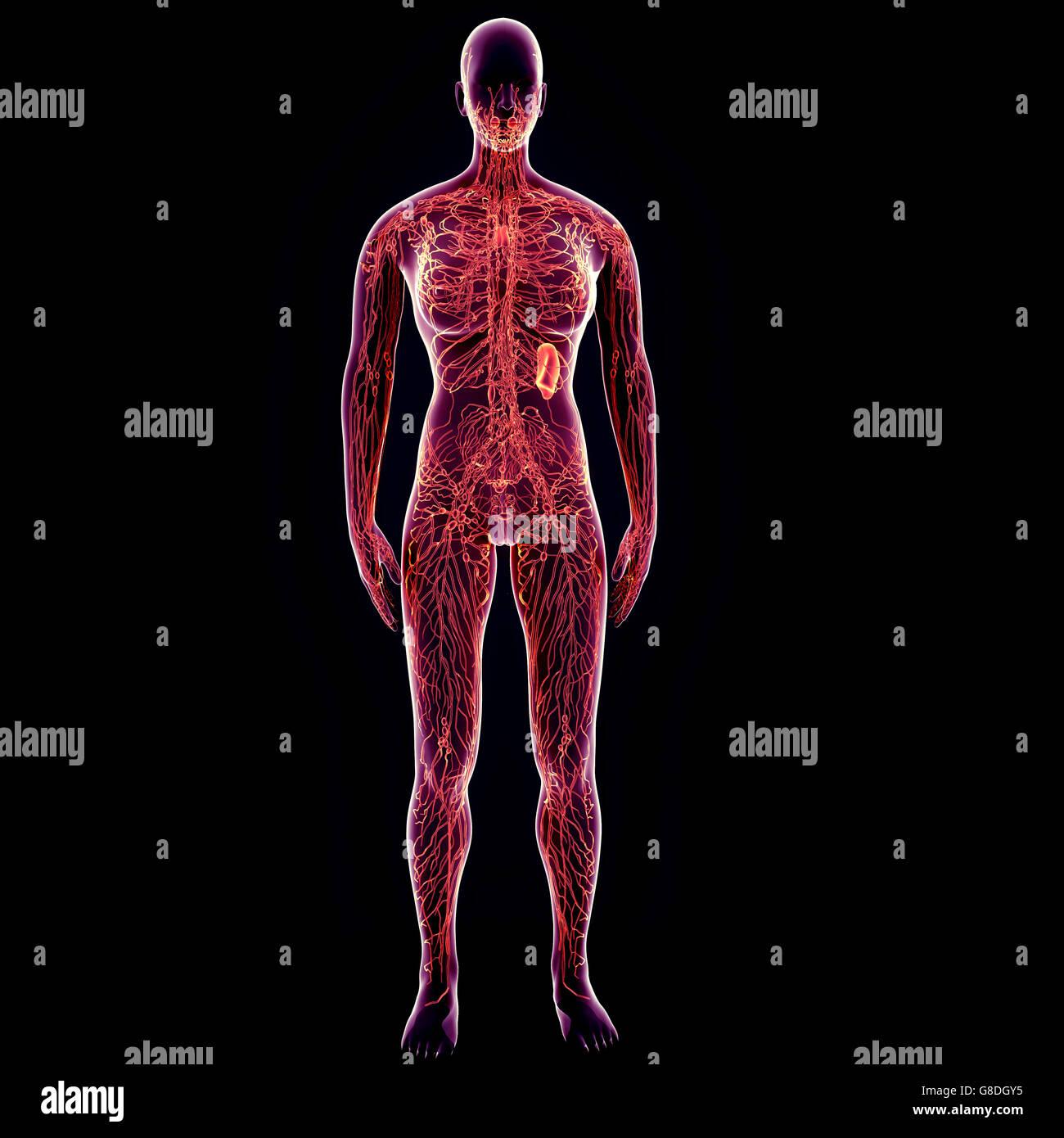 3D-Darstellung des menschlichen Körpers Nervensystem Anatomie ...