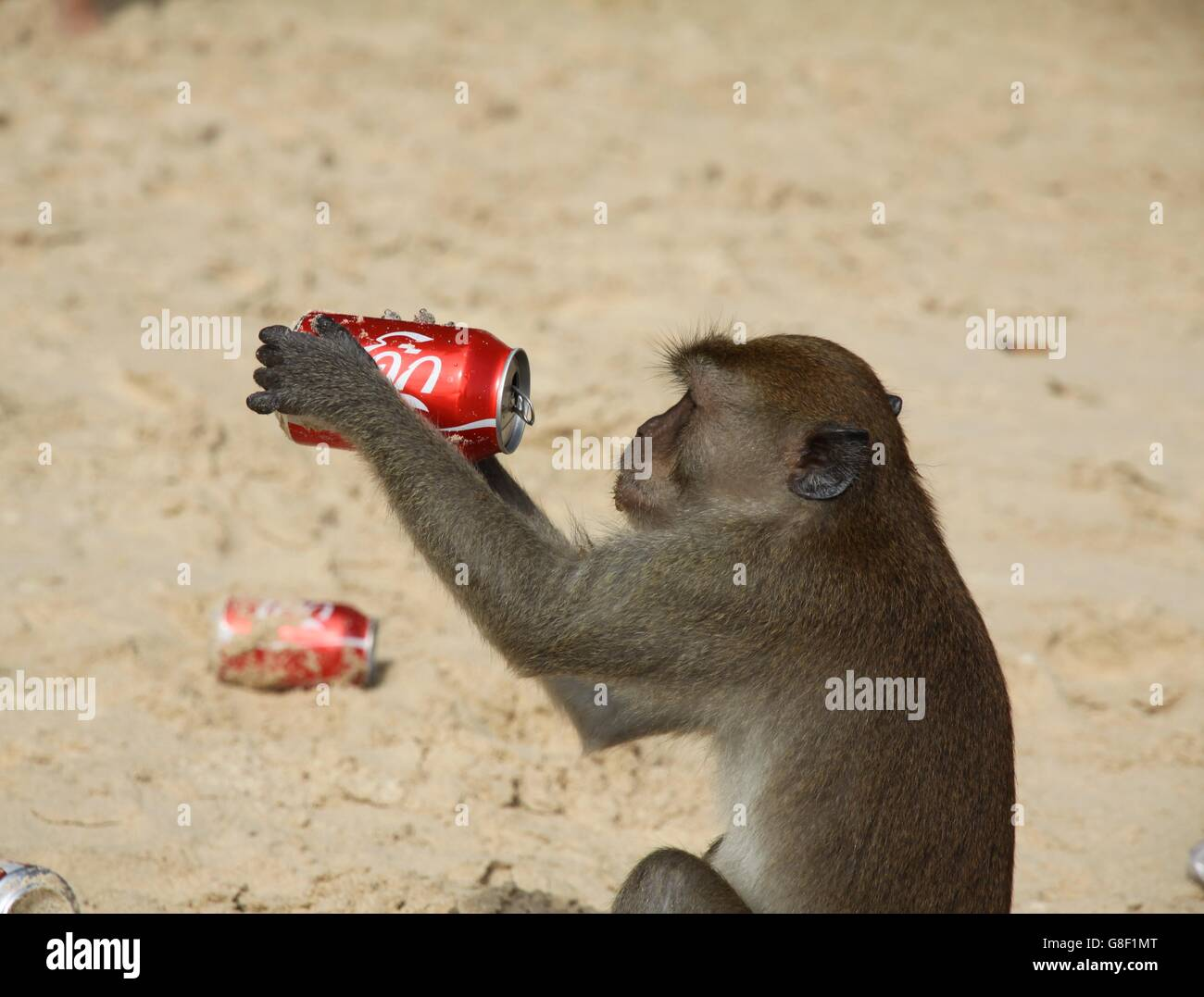 Longtaile Makaken Affen Getränke Koks am Strand, Thailand Stockfoto ...