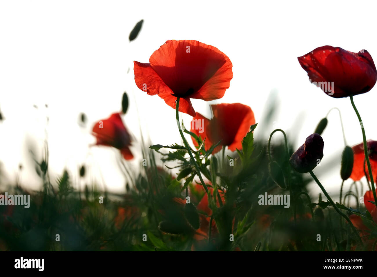 Feld oder Wiese von Mohn in englischen Landschaft in ein Querformat fotografiert aus einem niedrigen Winkel Stockbild