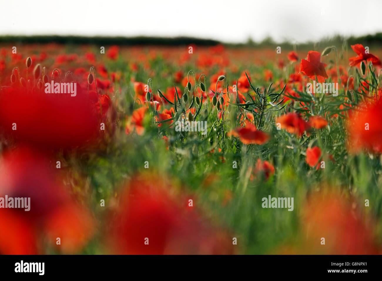 Feld oder Wiese von Mohn in englischen Landschaft in ein Querformat Stockbild