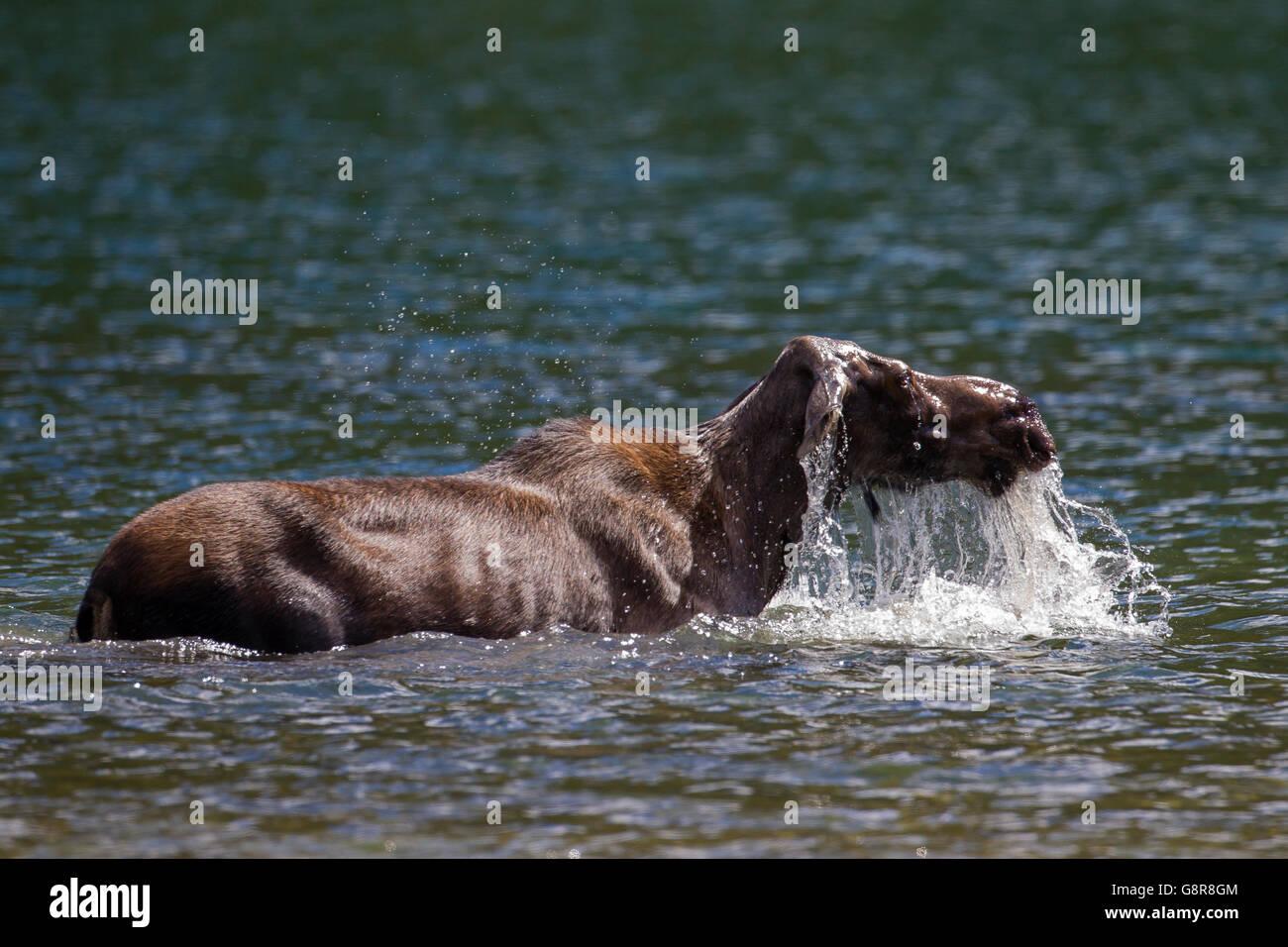 Elch (Alces Alces) Kuh auftauchen nach der Fütterung auf Unterwasser Vegetation in See Stockbild