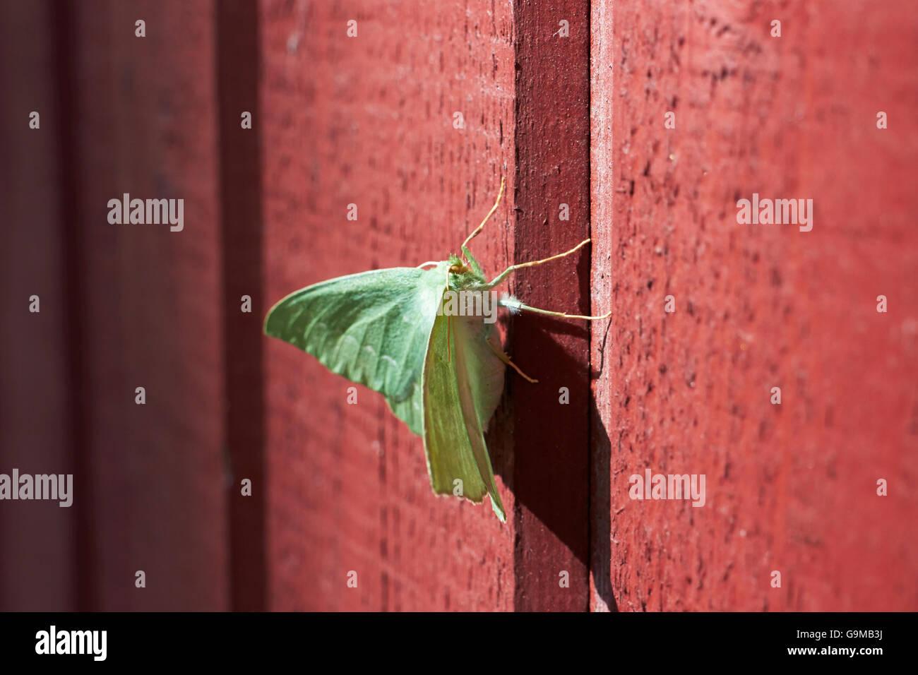 Geometra Papilionaria, große Smaragd Stockbild