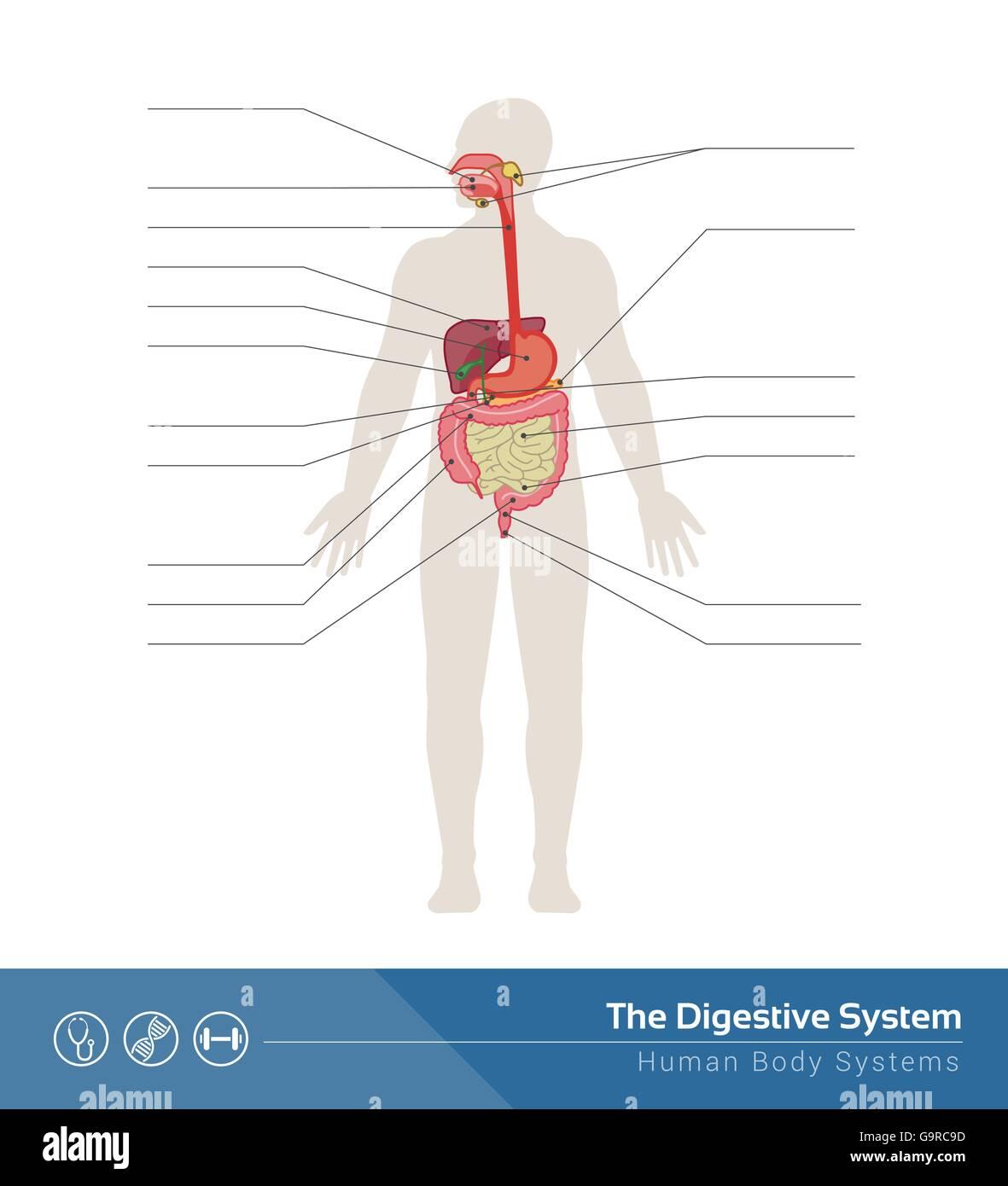 Digestive System Diagram Stockfotos & Digestive System Diagram ...
