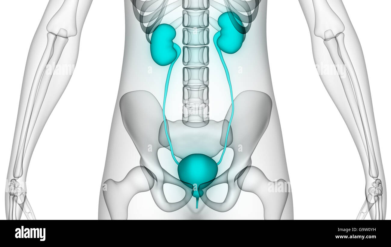 Human Kidneys Stockfotos & Human Kidneys Bilder - Alamy