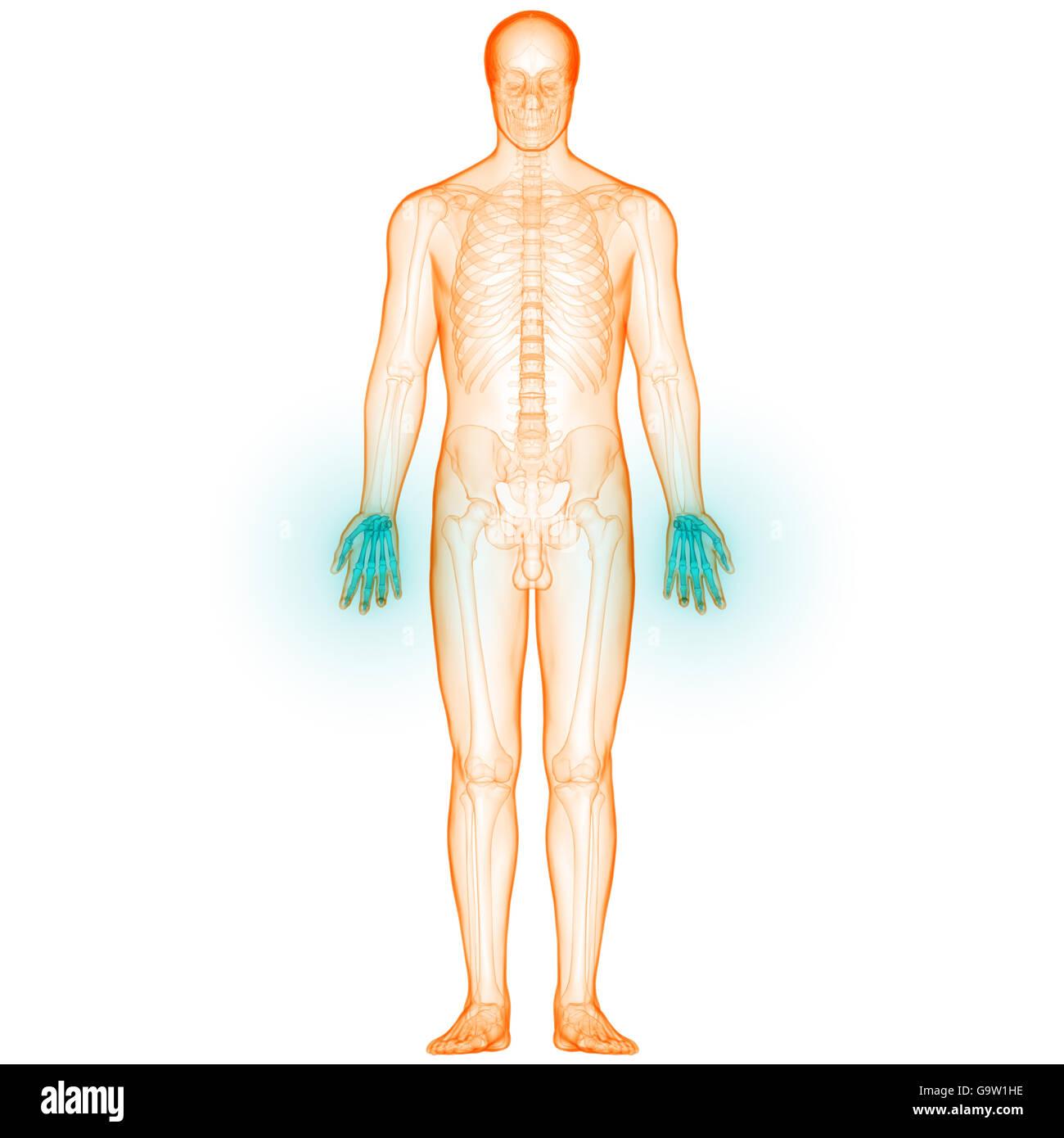 Menschlichen Körper Knochen Gelenkschmerzen (Handgelenke Stockfoto ...