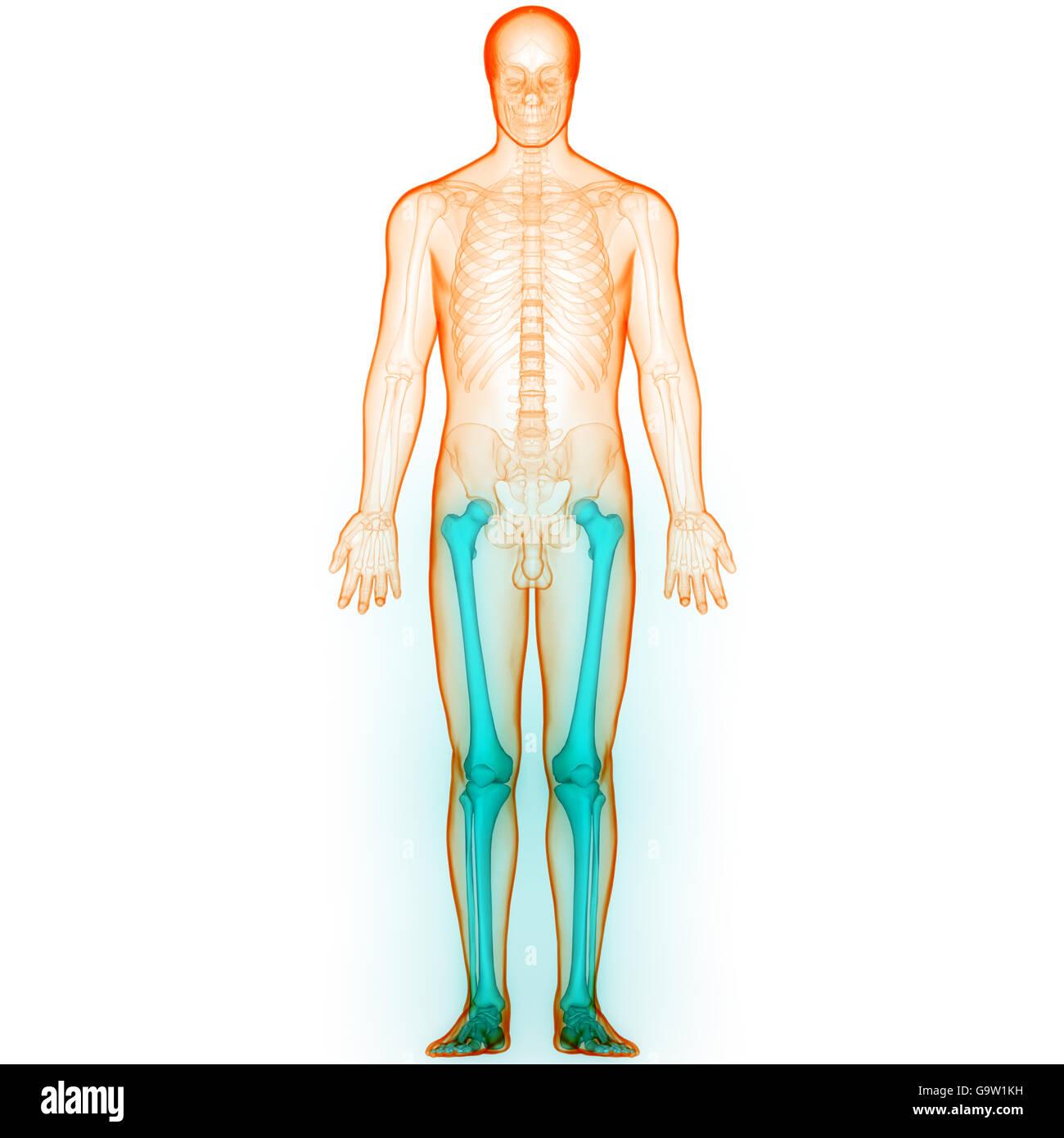 Menschlichen Körper Knochen Gelenkschmerzen (Bein Gelenke Stockfoto ...
