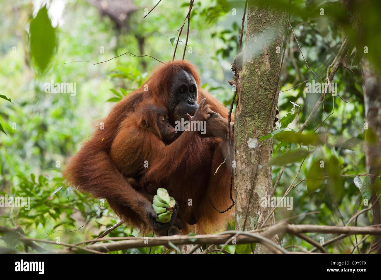 Sumatra Orang-Utan (Pongo Abelii) in die Regenwälder von Sumatra, Indonesien, Asien Stockbild