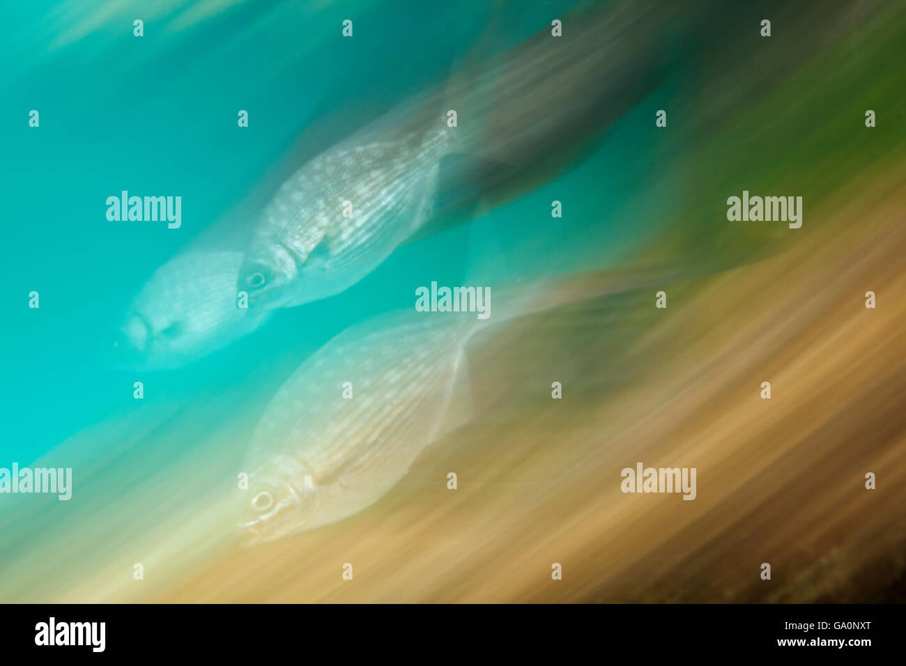 Gelbe Döbel (Kyphosus Schneidezahn) verschwommen Bewegung, Yalku Einlass, Karibik, Mexiko, Februar Stockbild