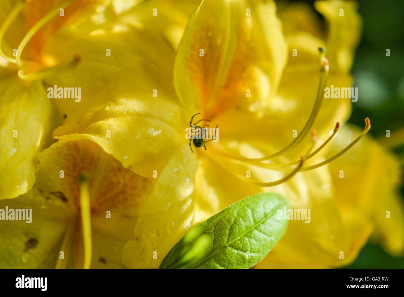 azalea rhododendron yellow orange stockfotos azalea rhododendron yellow orange bilder alamy. Black Bedroom Furniture Sets. Home Design Ideas