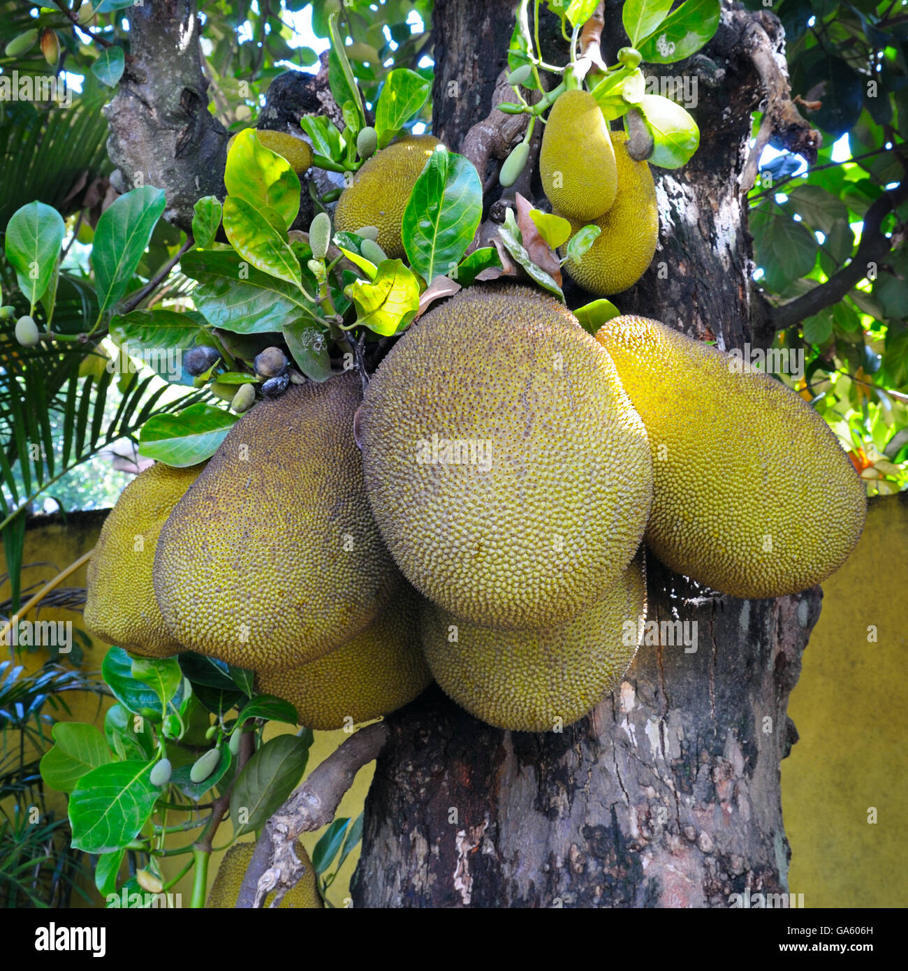 Reife Brotfrucht auf einem Baum Stockbild
