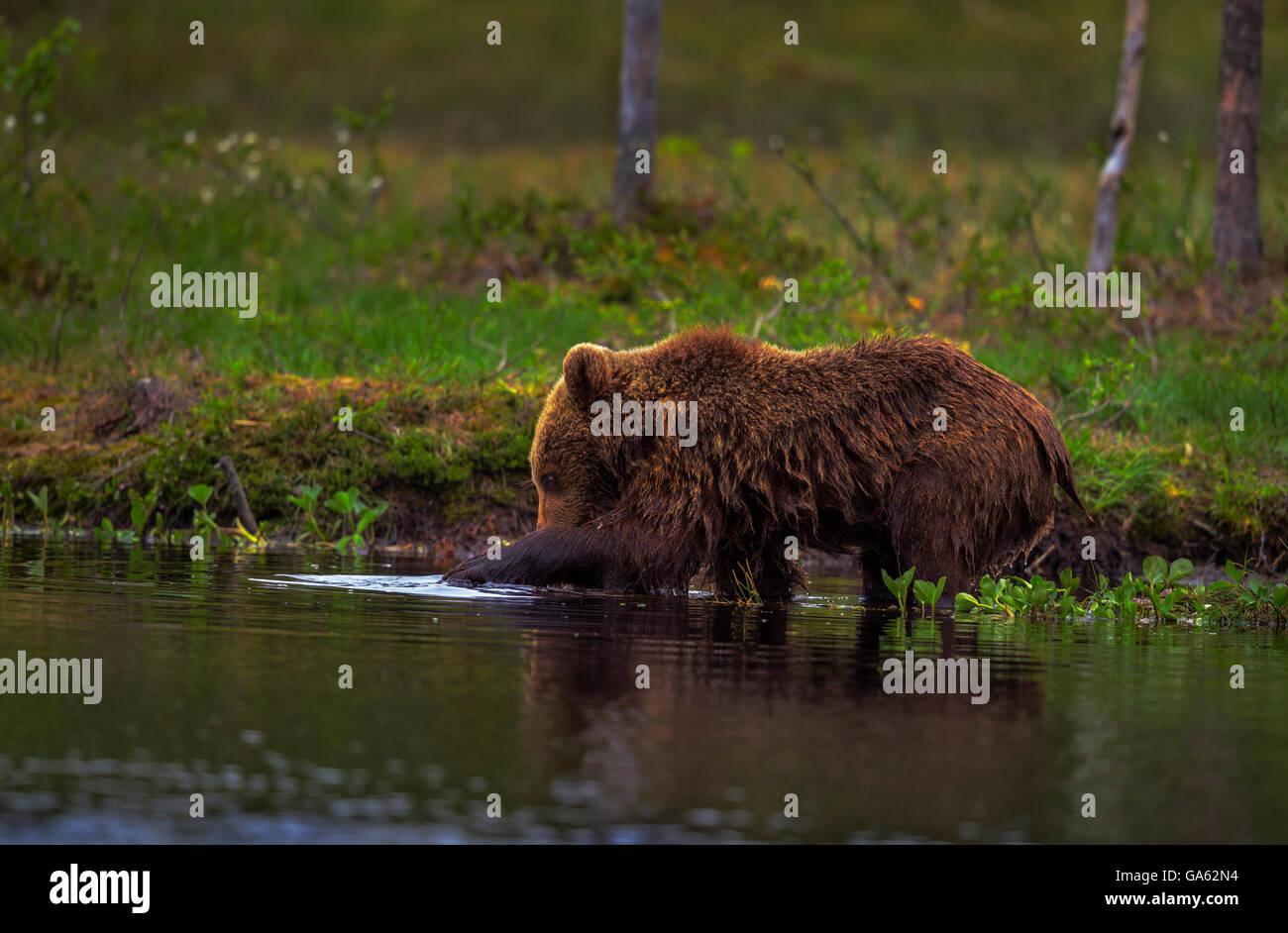 Ein junger Braunbär Fischen in einem See im Norden Finnlands. Stockfoto