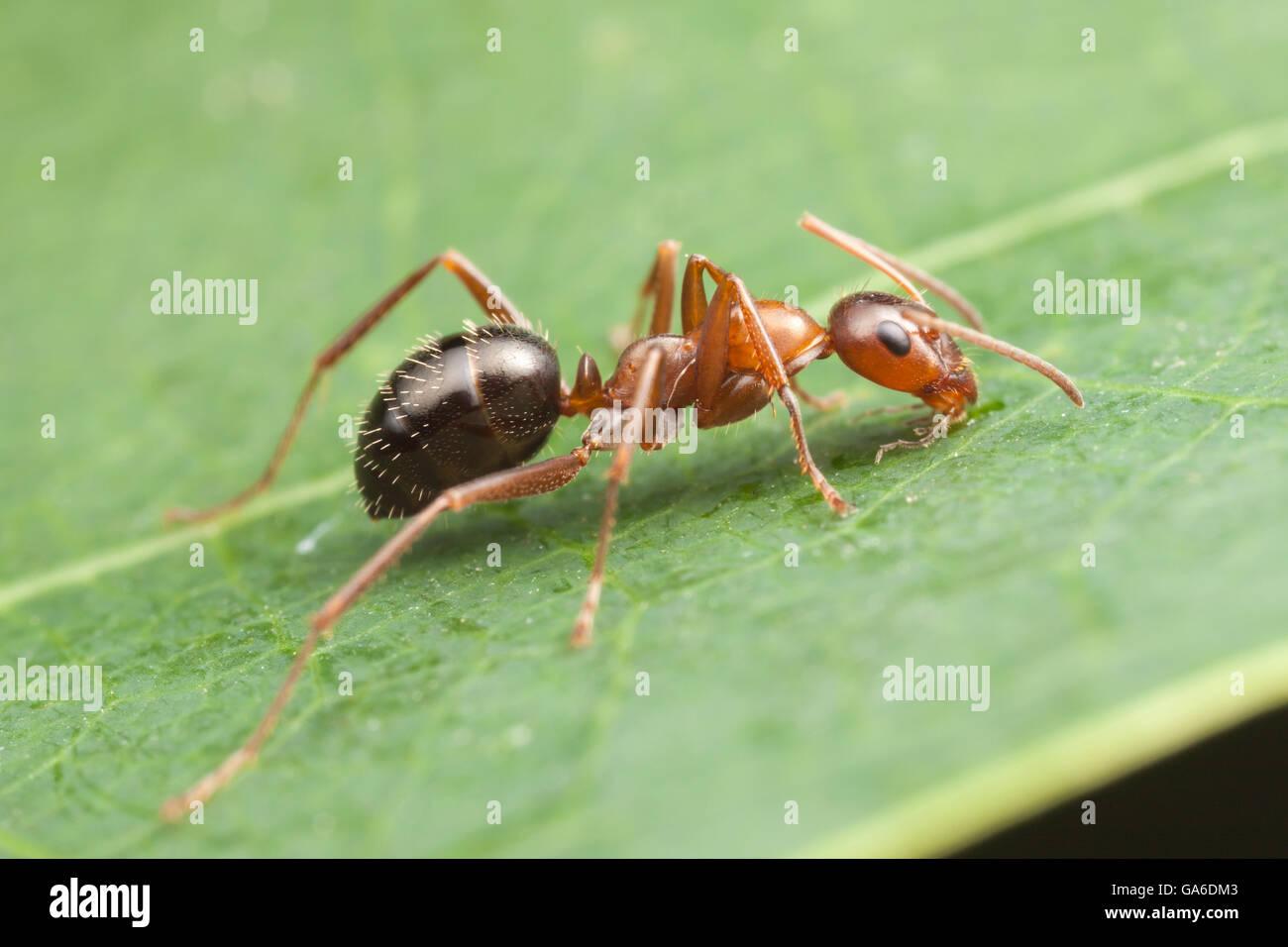 Eine Ameise (Formica Incerta) Futter auf einem Blatt. Stockbild