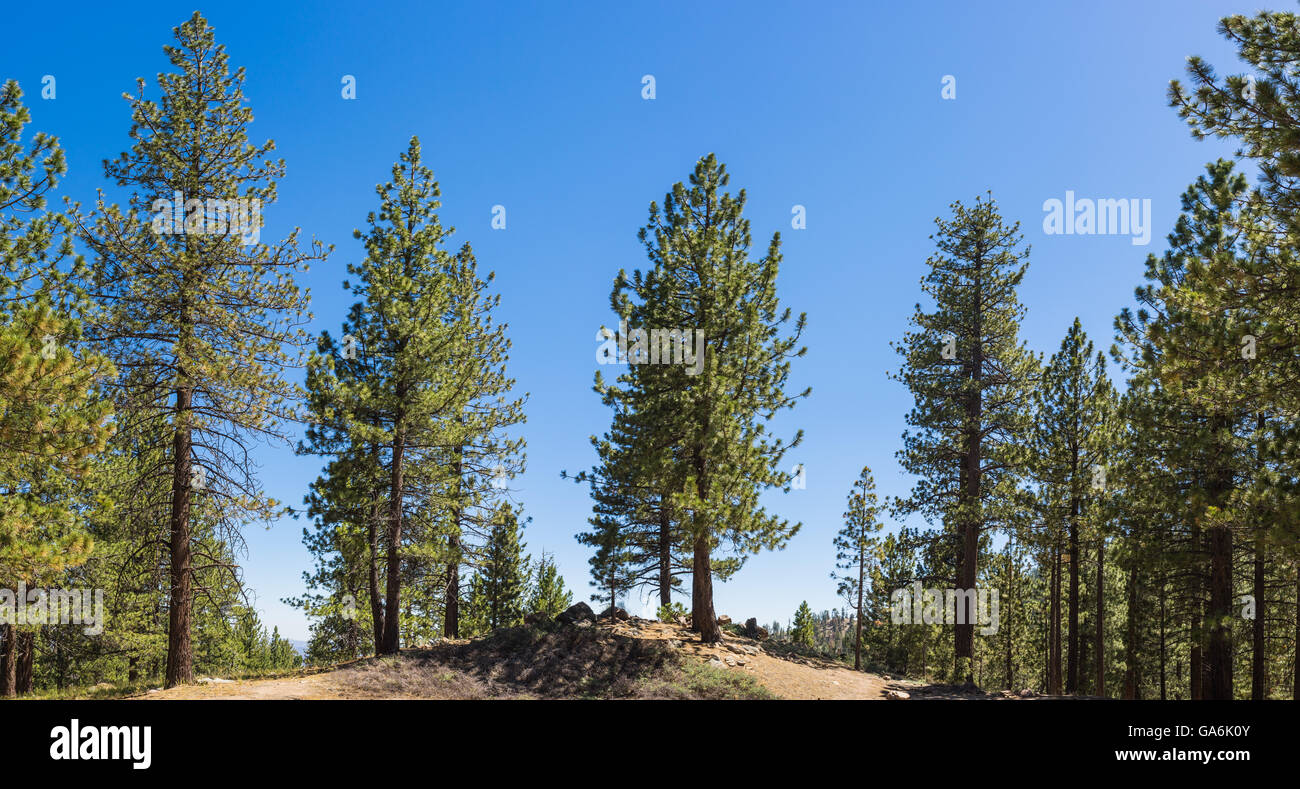 Linie von Kiefern auf Bergrücken im Los Padres National Forest in Südkalifornien. Stockbild