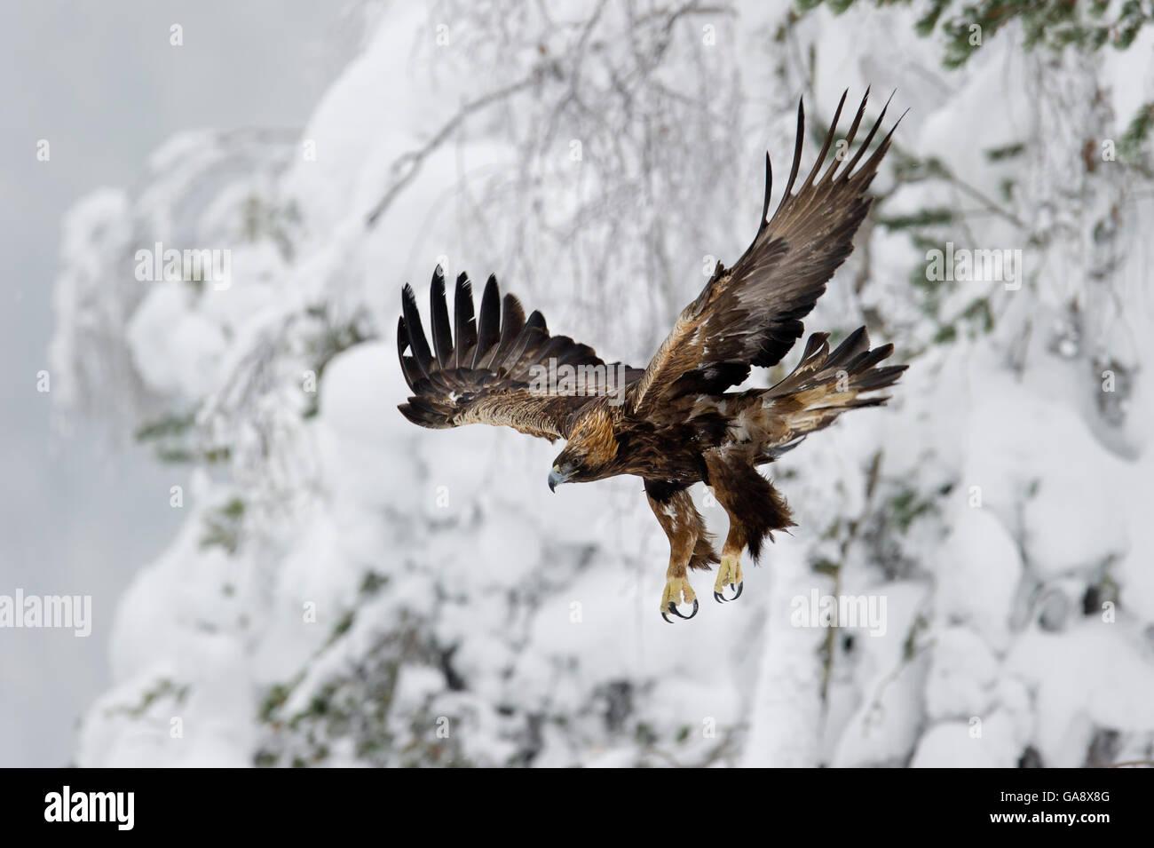 Steinadler (Aquila Chrysaetos) im Flug, Finnland.  Februar. Stockbild