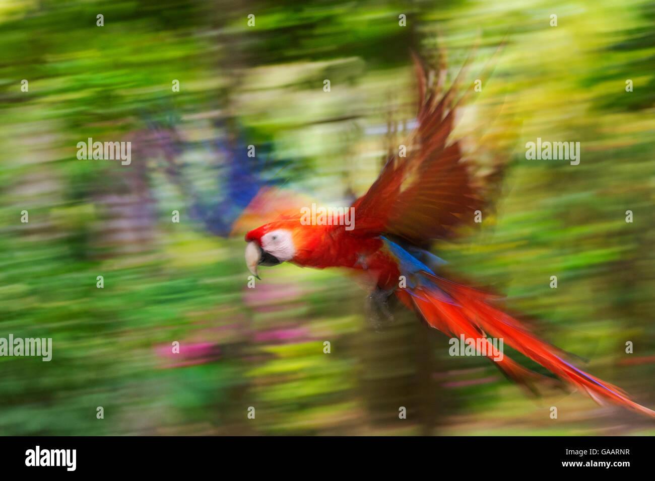Hellroten Aras (Ara Macao) fliegen, Bewegungsunschärfe. Costa Rica. Stockbild