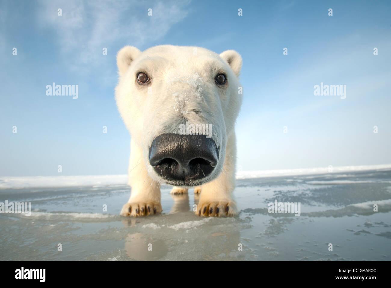 Eisbär (Ursus maritimus) neugierige junge Bären nähert sich die Kamera, über neu entstehende Packeis im Herbst freeze, Stockfoto