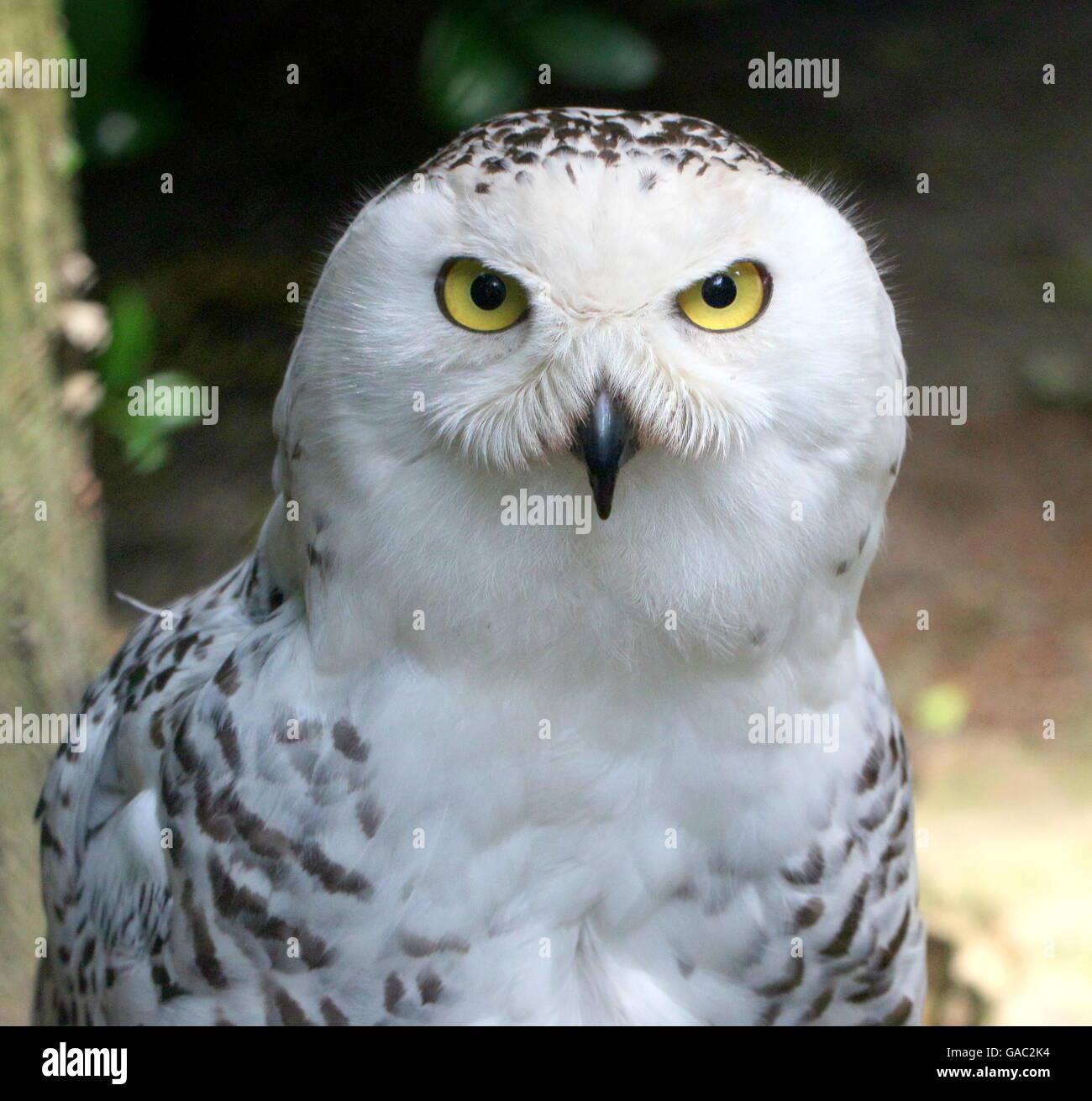 Schnee-Eule (Bubo Scandiacus) Oberkörper und Kopf, gerichtete Kamera Stockbild