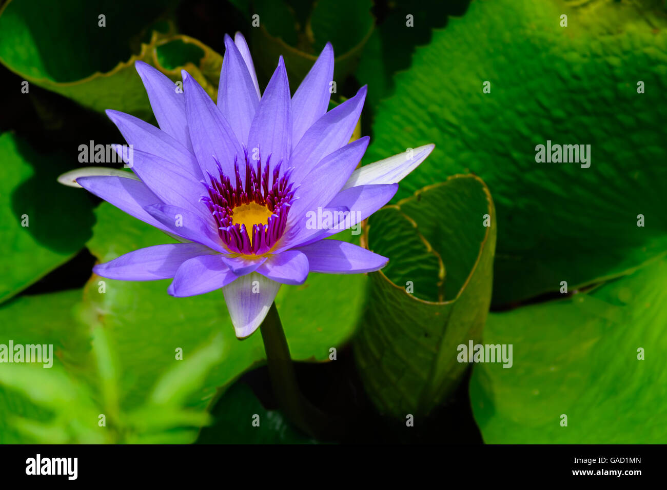 blue water lily nymphaea in stockfotos blue water lily. Black Bedroom Furniture Sets. Home Design Ideas