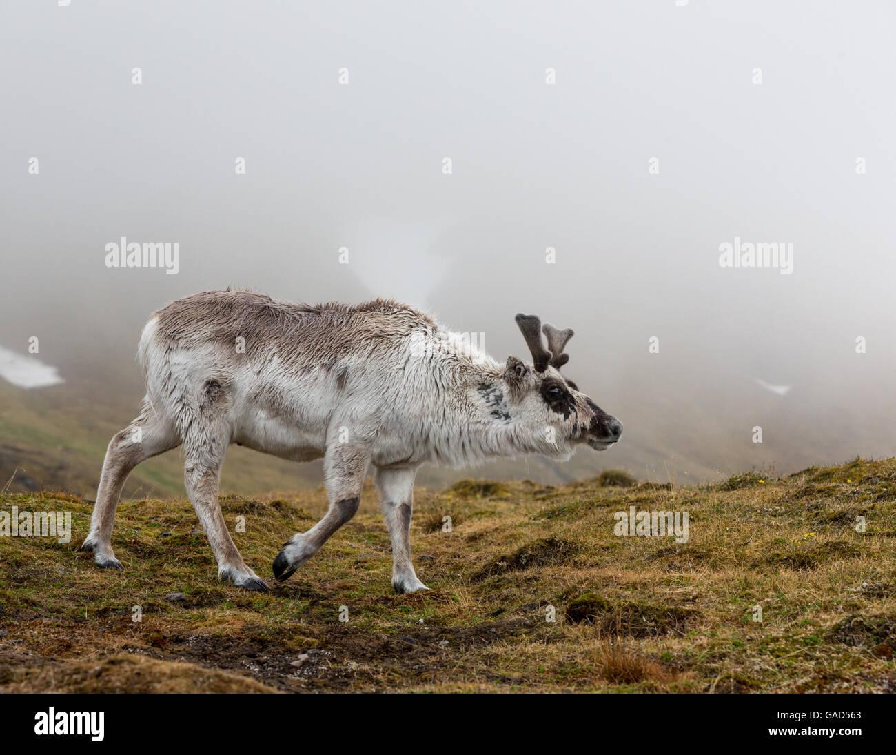 Rentier im Nebel, Alkhornet, Isfjorden, Spitzbergen, Svalbard, Norwegen Stockbild