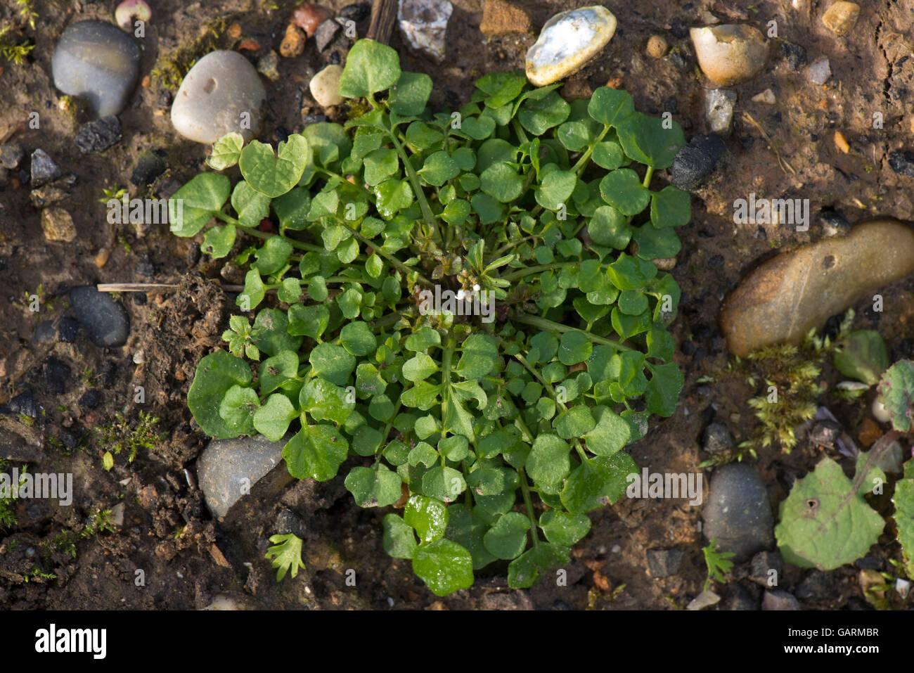 Der Garten Im Februar eine behaarte schaumkraut cardamine hirsuta pflanze grundrosette