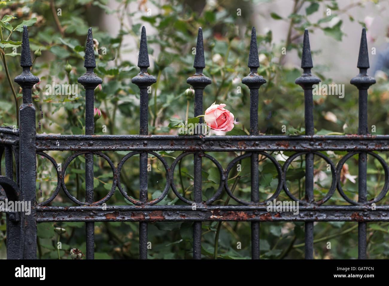 Zaun Rose Stockfotos Zaun Rose Bilder Alamy