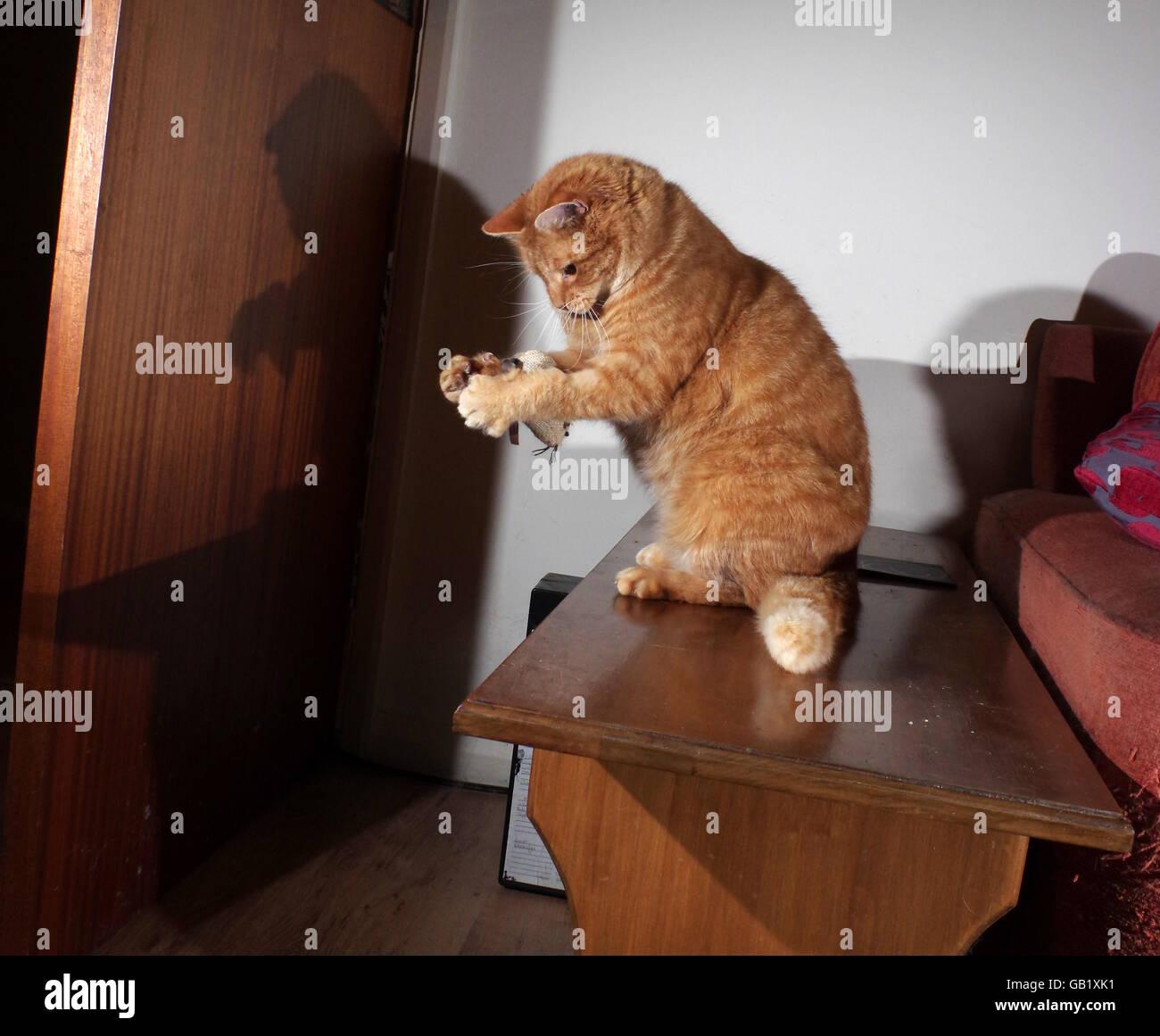 Ingwer Katze spielt mit Spielzeug-Maus Stockfoto