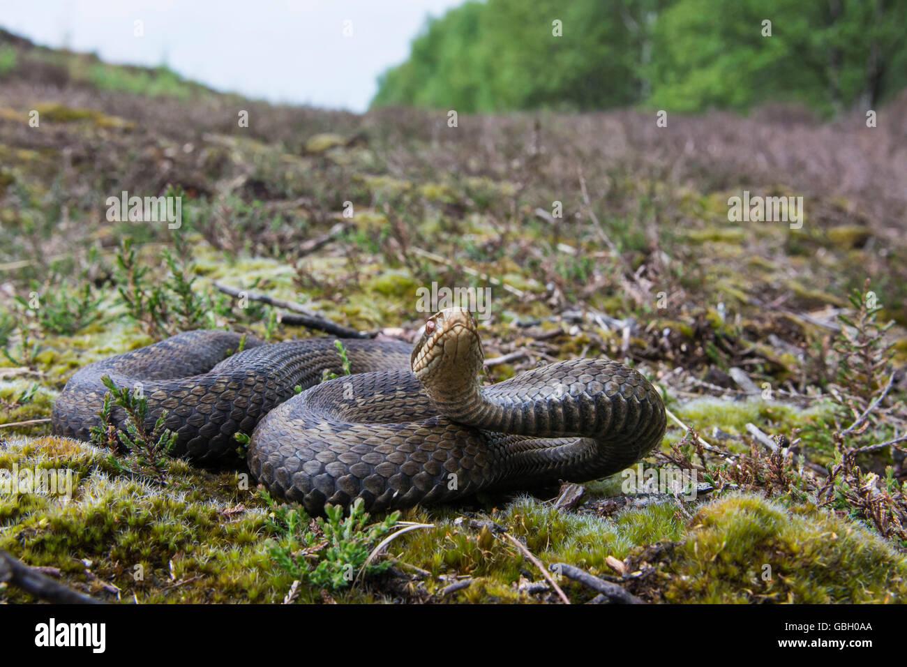 Addierer, Niedersachsen, Deutschland / (Vipera Berus) Stockbild