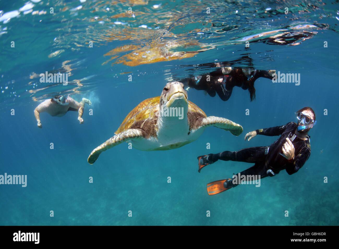 Schnorcheln mit grünen Meeresschildkröten in Teneriffa, Kanarische Inseln Stockbild