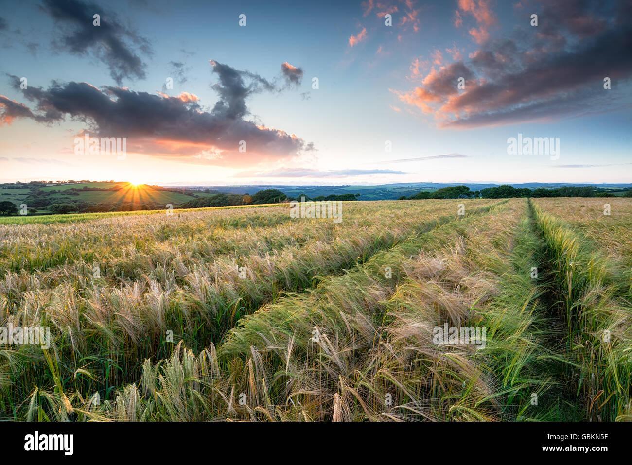 Atemberaubenden Sonnenuntergang über einem Feld des Reifens Gerste auf Ackerland in der Nähe von Bodmin Stockbild