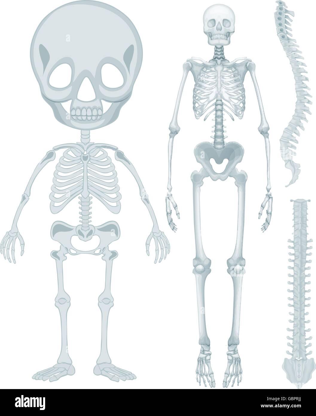 Skelett-Systems für Mensch-illustration Vektor Abbildung - Bild ...