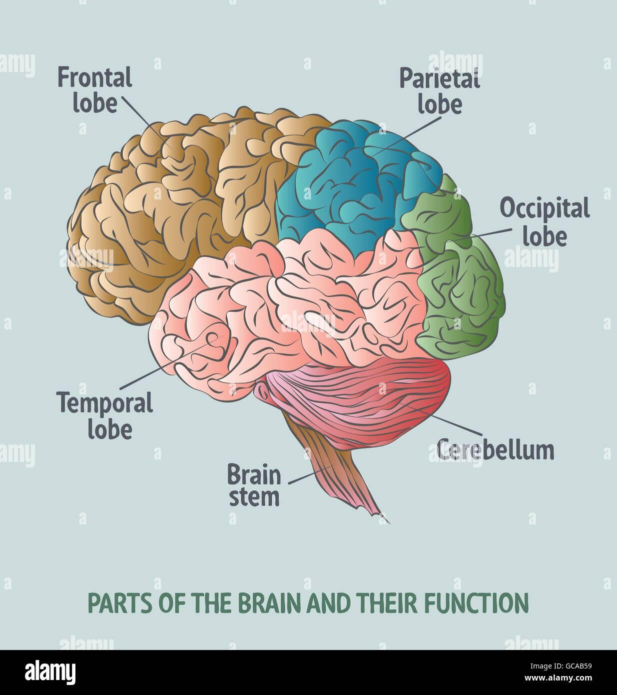 Beste Menschliches Gehirn Anatomie Video Ideen - Menschliche ...