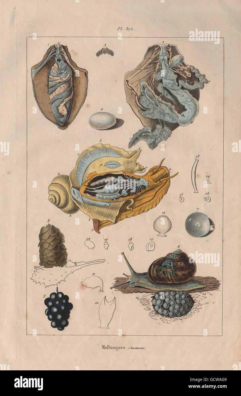 Anatomie Anatomy Stockfotos & Anatomie Anatomy Bilder - Alamy