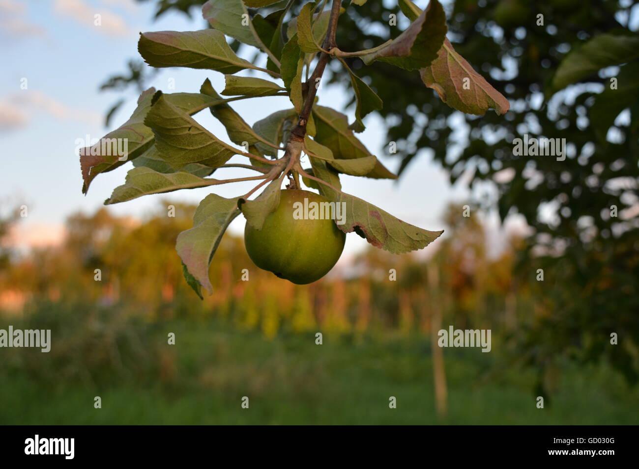 Grüner Apfel im Baum Stockbild