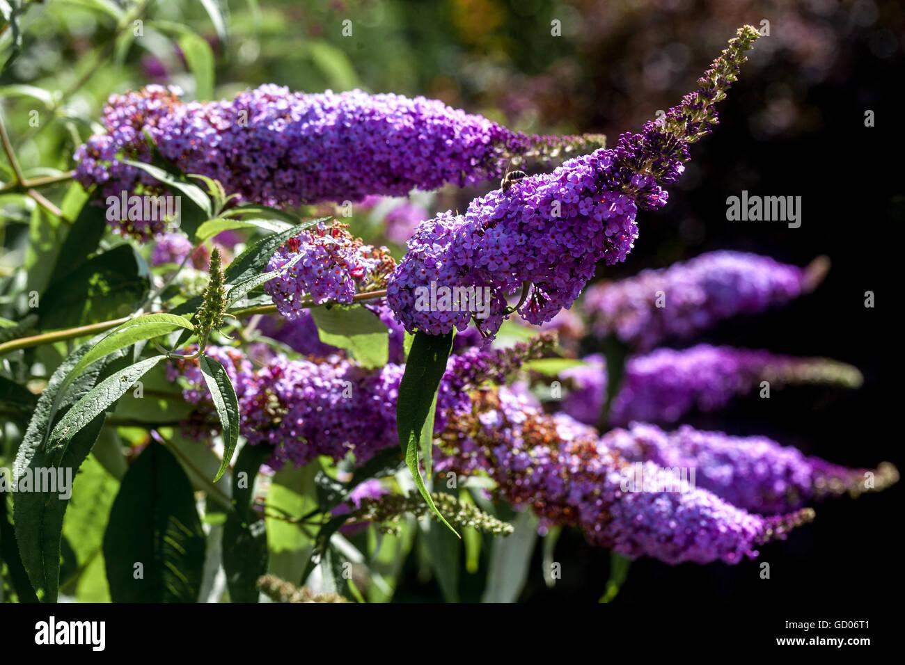 Strauch Grenze Garten, Schmetterling Bush Buddleja davidii Stockbild