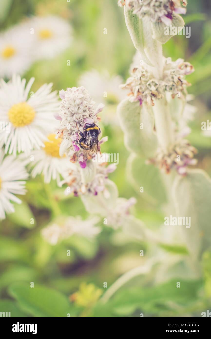 Bumblebee sammeln Pollen in meinem Garten. Dieses schöne Geschöpf, draußen am Wochenende erwischt. Stockbild