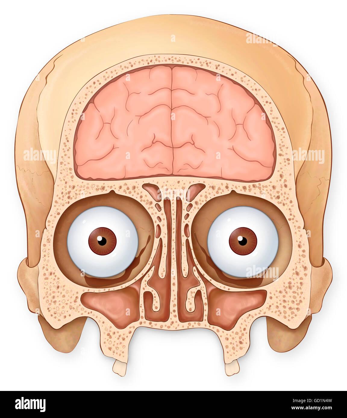 Koronale Normalschnitt von Schädel und Gehirn zeigt die koronalen ...