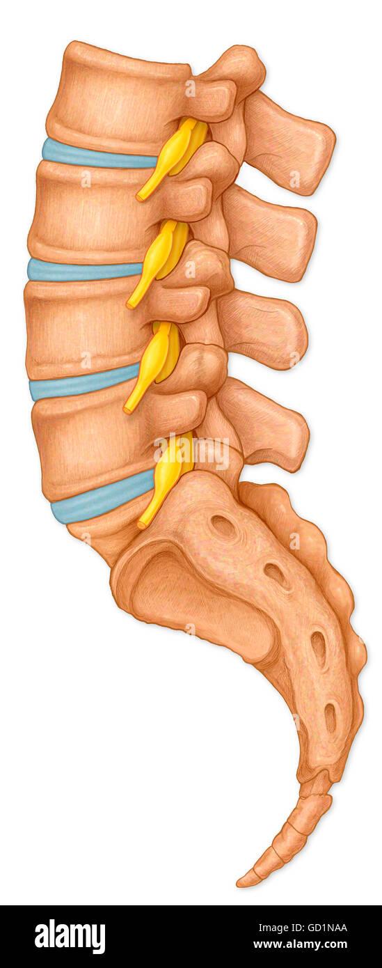 Normalen Seitenansicht der Lendenwirbel, Wurzeln der Spinalnerven ...