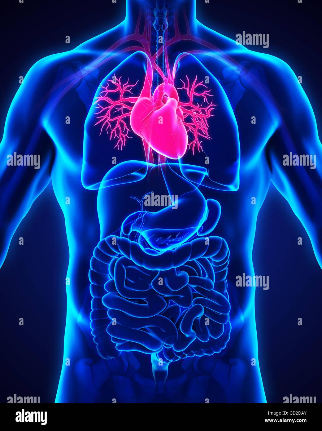 Anatomie des menschlichen Herzens Stockfoto, Bild: 111307139 - Alamy