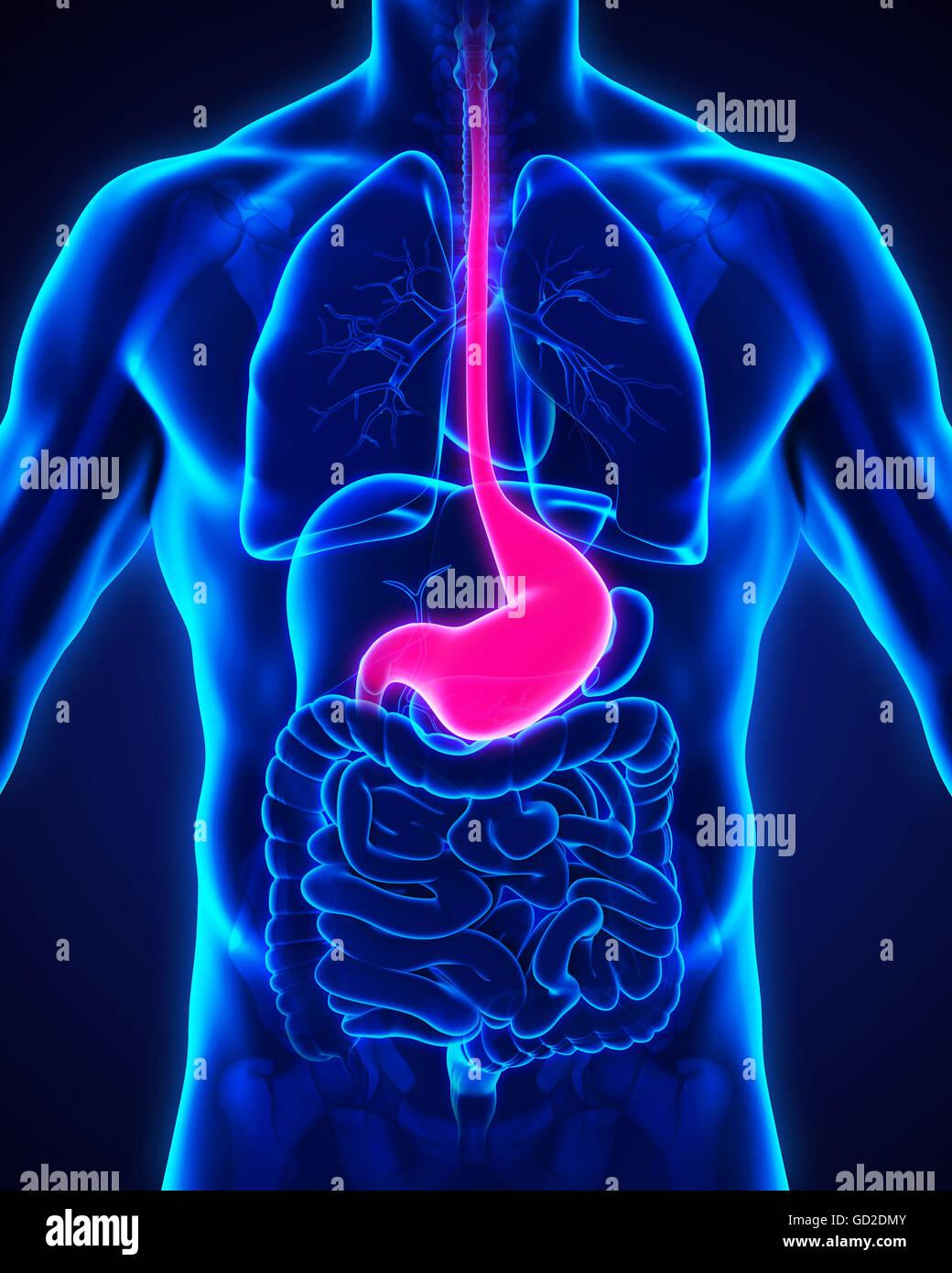 Anatomie der menschlichen Magen Stockfoto, Bild: 111307419 - Alamy