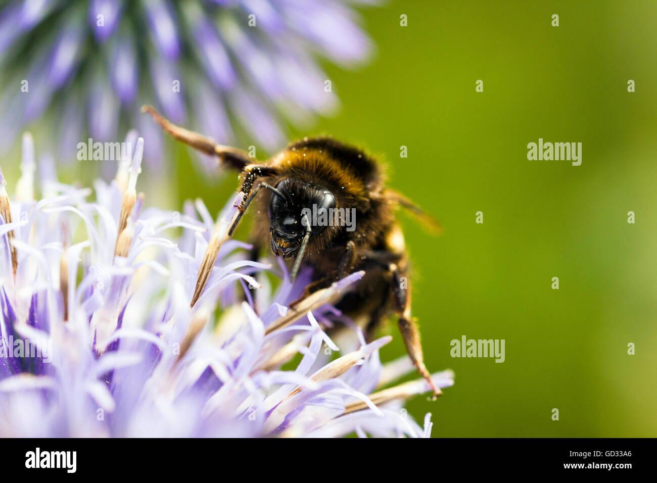 Nahaufnahme einer Biene auf einer Blüte Stockbild