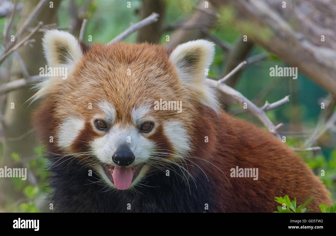 Pantining roter Panda. Closeup-Serie Stockbild