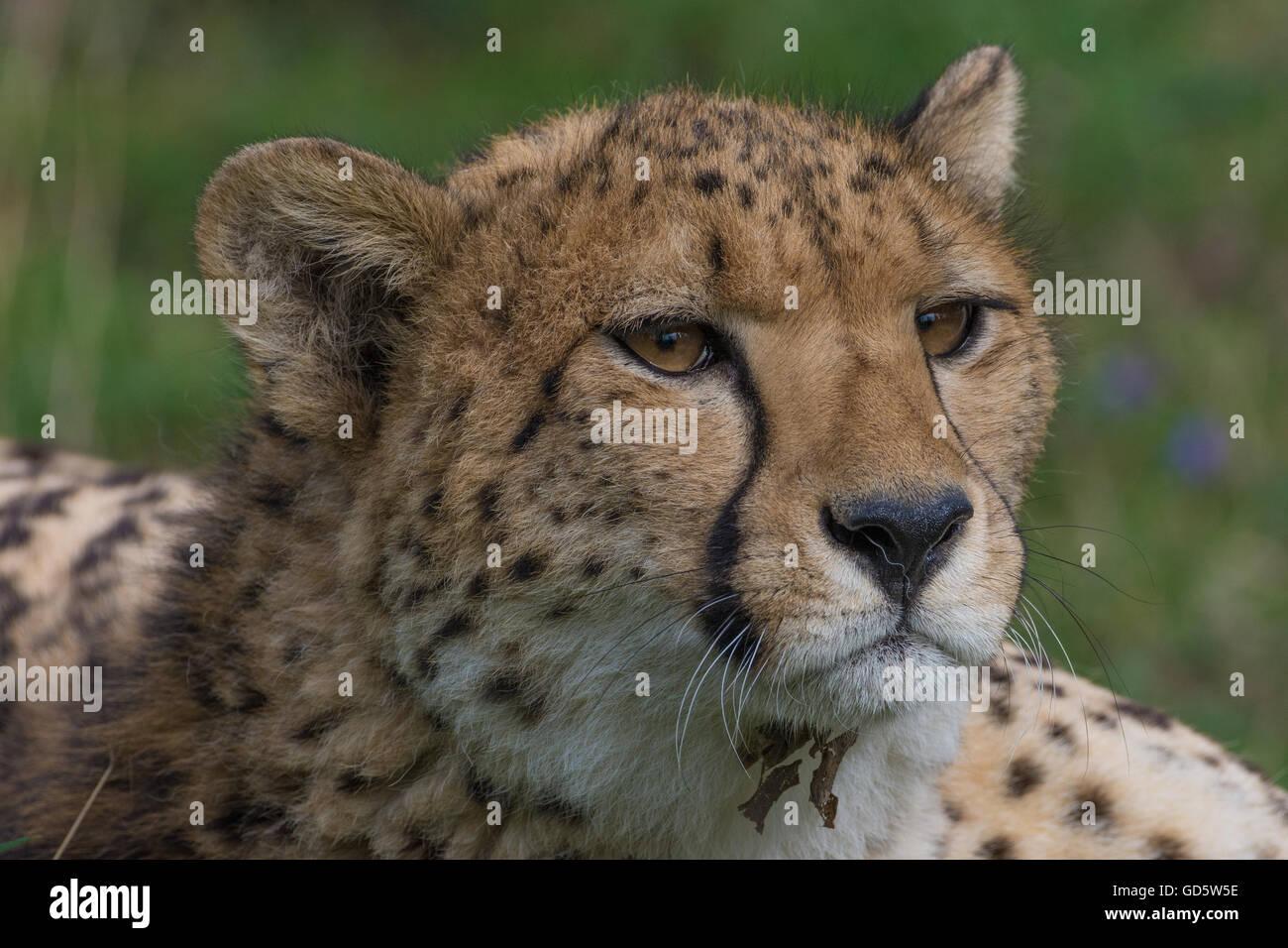 Gepard-Nahaufnahme-Serie Stockbild