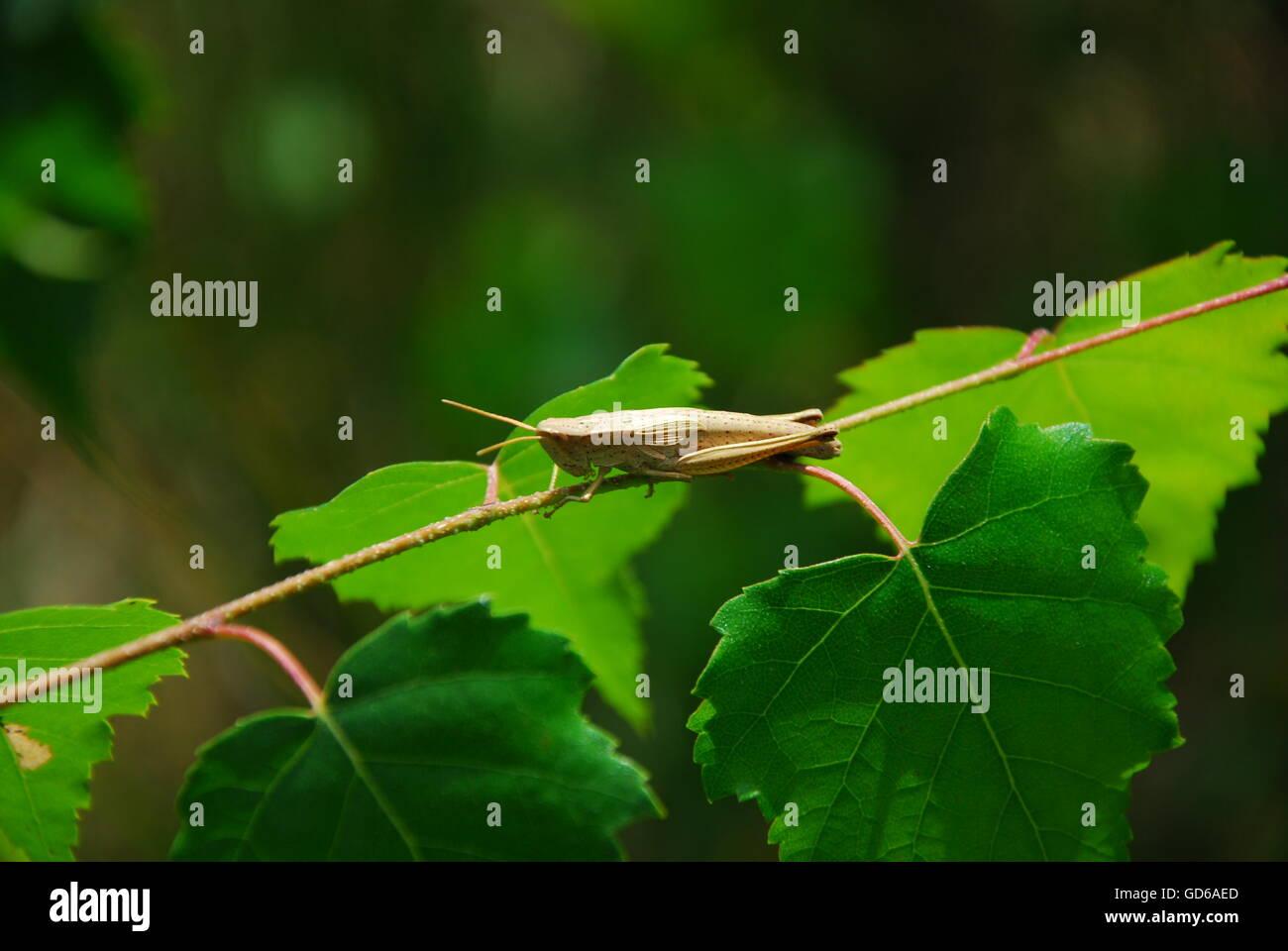 Große grüne Busch Cricet, Tettigonia viridissima Stockbild