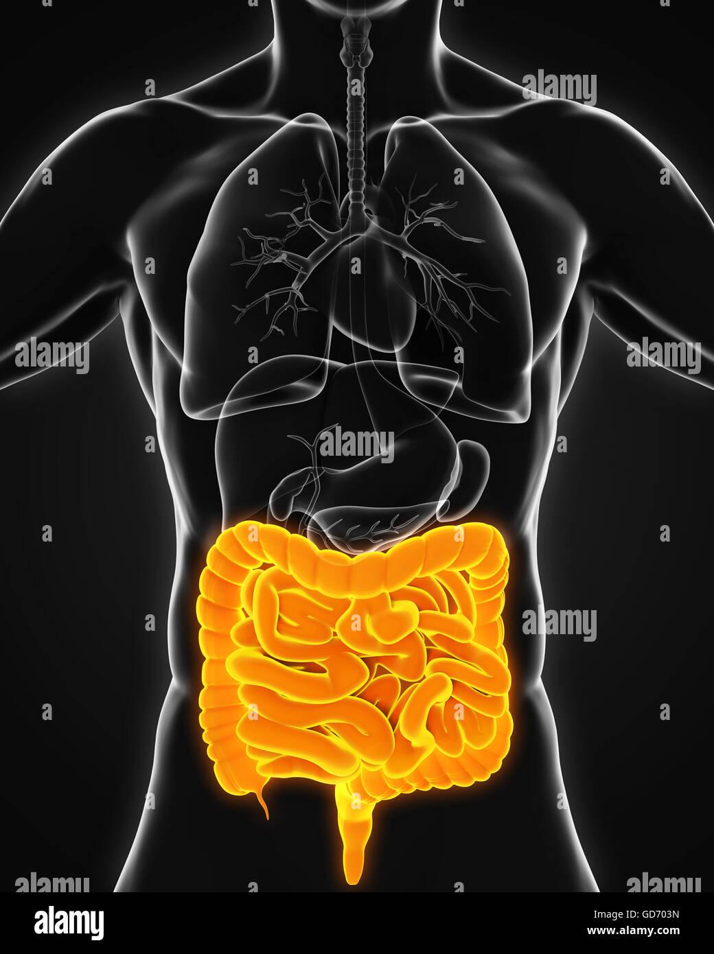 Menschlichen Darm Anatomie Stockfoto, Bild: 111406505 - Alamy