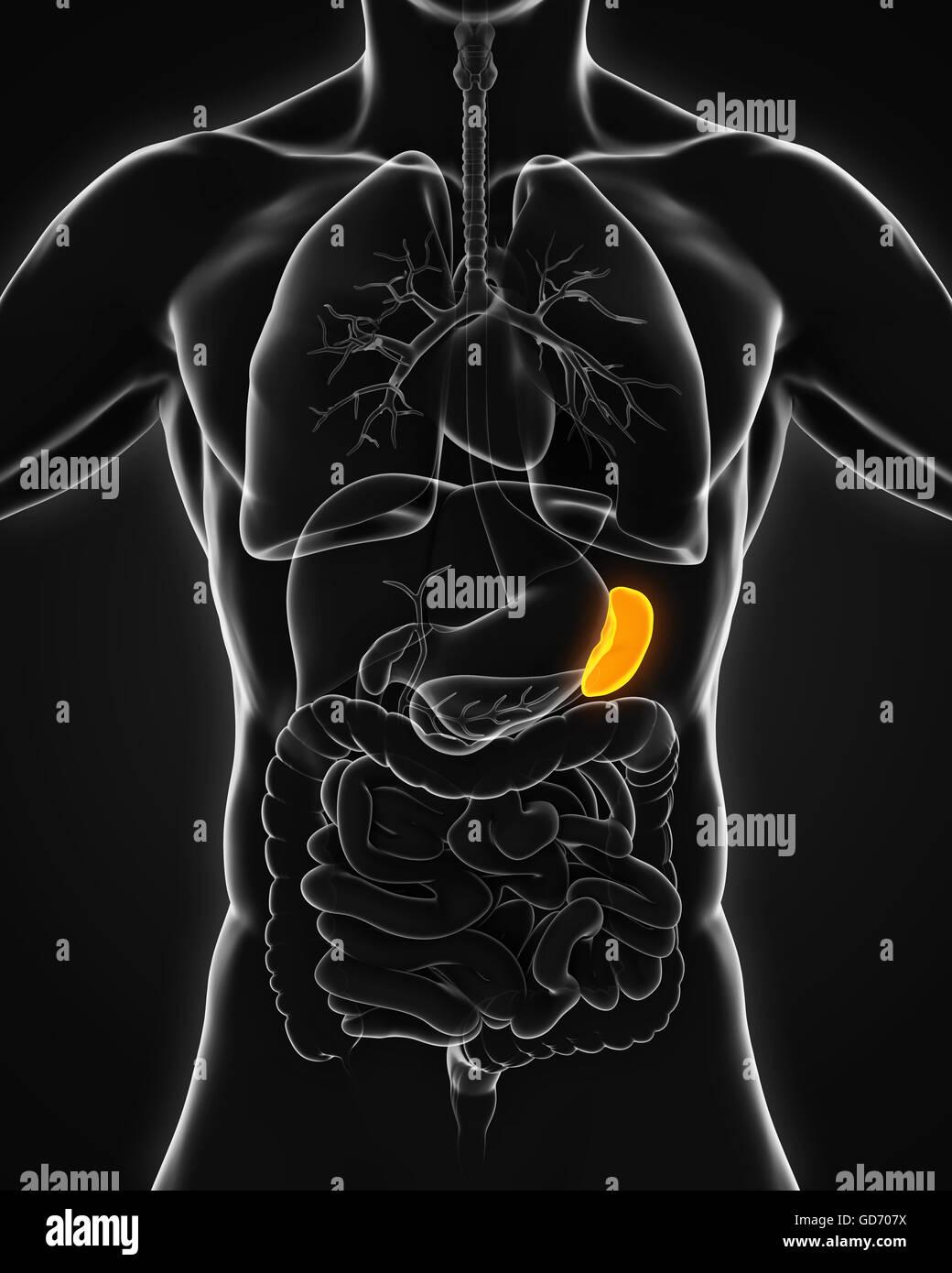 Anatomie der menschlichen Milz Stockfoto, Bild: 111406622 - Alamy