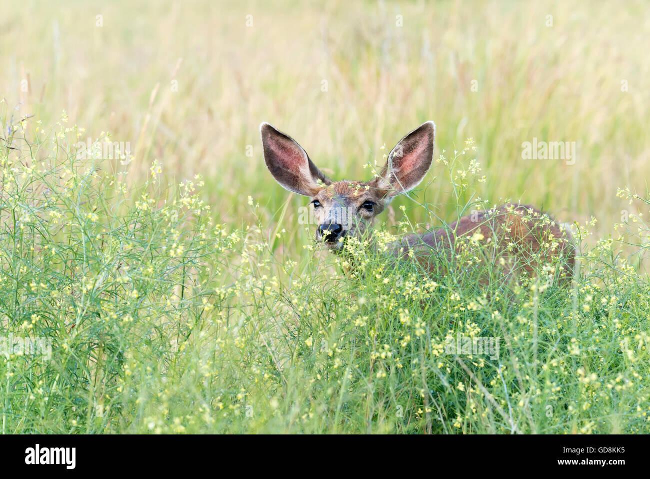 Maultier-Rotwild in hohen Gräser und Kräuter, Iwetemlaykin Welterbe-Aufstellungsort, Wallowa Valley, Oregon. Stockbild