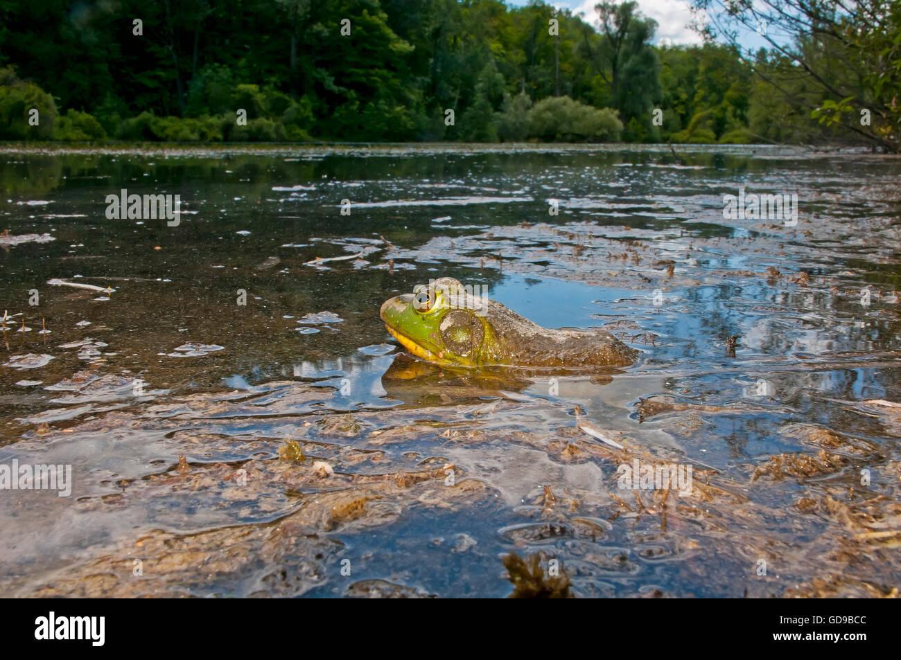 Frosch in einem Sumpf, Nordamerika Stockbild
